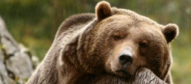 Un oso pardo descansa en un entorno natural