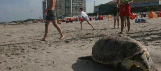 Tartaruga gigante encontrada na Praia de Ofir