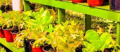 Plantación de legumbres frescas
