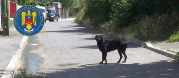 Rottweiler liber pe o stradă din Galați