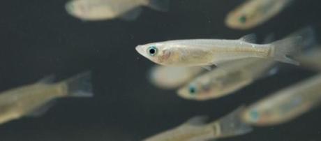 Peixes da espécie medaka, usados no estudo