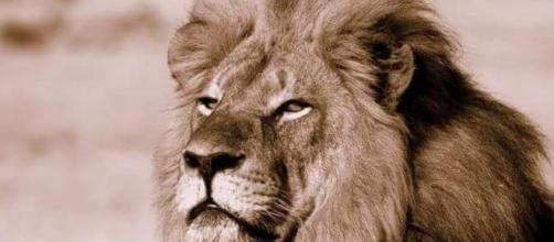 Fotografía del león asesinado... Cecil