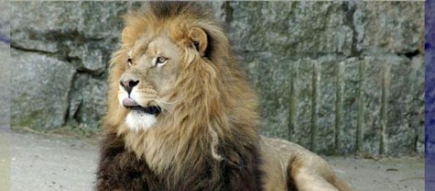 fotografía de un león reposando