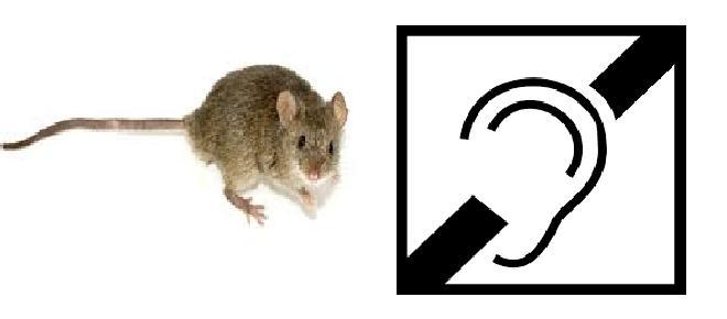 Terapia genética devuelve audición a ratones sordos y se espera empezar pruebas en humanos