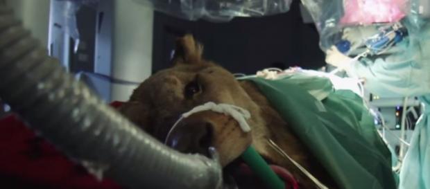 Leonardo durante l'intervento chirurgico