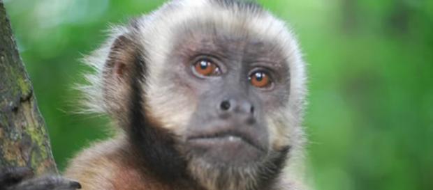 Maimuţă furată de părinţi inconştienţi