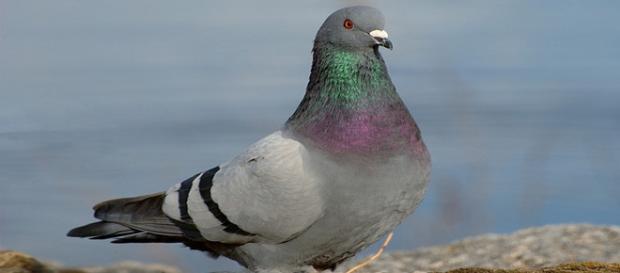 Verano, enfermedad de las palomas
