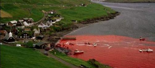 Far Oer: ogni anno vengono uccise 800 balene