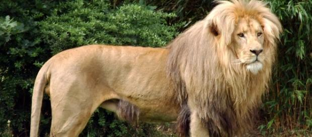 Cecil was a tourist attraction in Zimbabwe.