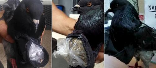 Narcopigeon, la paloma traficante de drogas