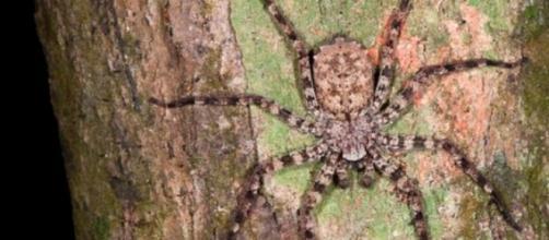Aranha do gênero Senelops é capaz de voar