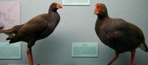 Na foto estão, respectivamente, Pukeko e Takahe