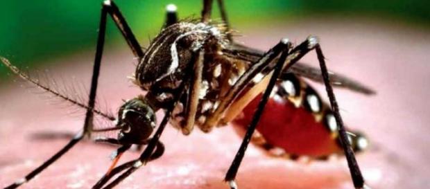 Chikungunya, virus provocado por el mosquito tigre