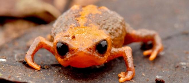 Un equipo de investigadores brasileños descubrió una nueva especie de sapo diminuto