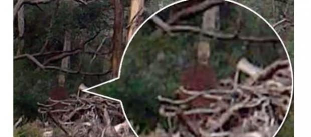 Fanstama nei boschi del Queensland?