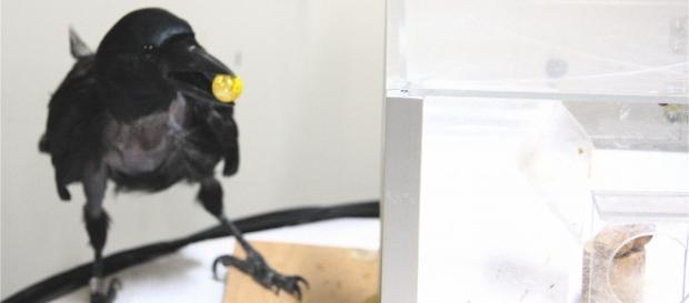 Aprendizaje del cuervo New Caldonian