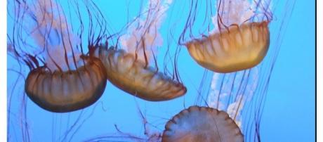 Medusas en el mediterráneo, la más peligrosa