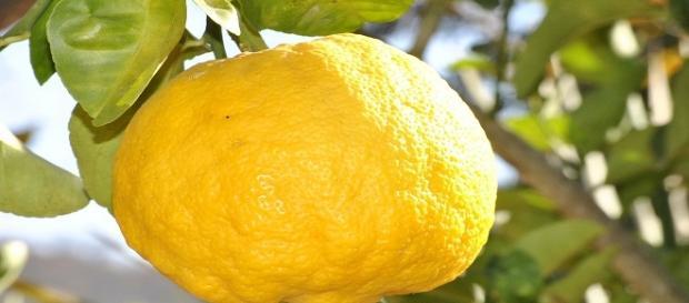 Fotografía de un Limón en rama.