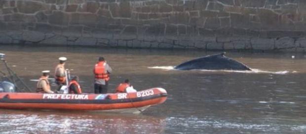 Prefectura guió a la ballena al Río de la Plata