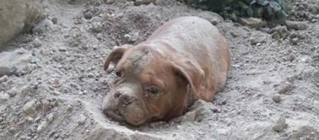 O cão foi enterrado vivo alegadamente pelo dono.