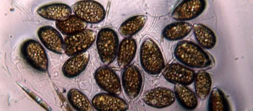 Alghe tossiche nei nostri mari sempre più caldi