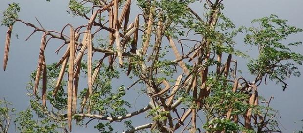 O fruto da moringa oleifera, a árvore milagrosa