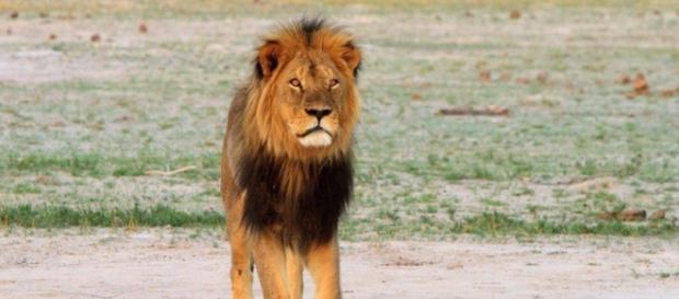 Cecil o Leão. Morto em julho de 2015.