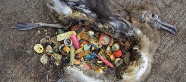 Ave marina muerta a causa de los plásticos del mar
