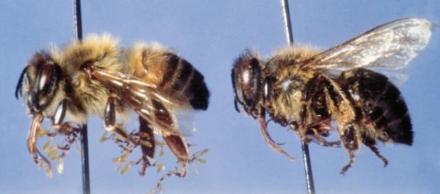 Invasión de abejas africanizadas asesinas