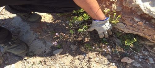 la flor morada conocida como Limonium dufourii