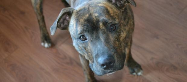 Un cane Staffordshire Bull Terrier, come Frankie