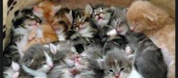 Una cucciolata di gatti. Foto Web