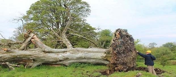 Árvore escondia um esqueleto medieval