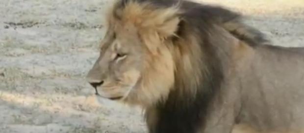 El león Cecil, un icono en Zimbabue