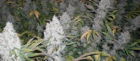 Piantine di marijuana, ancora vietate in Italia