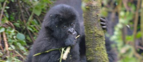 Mountain baby gorilla by Dave Proffer