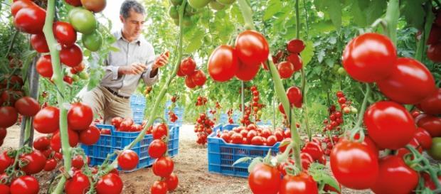 Cultivo de tomates, buenos contra el ictus