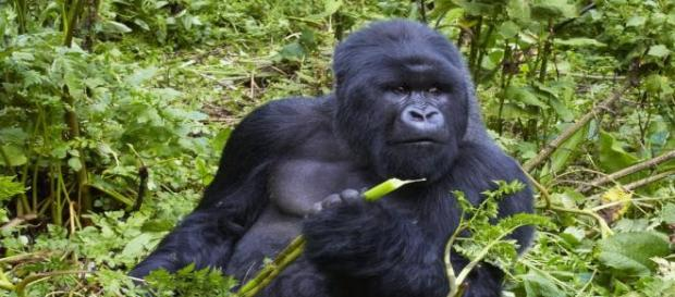 Early man may have resembled this gorilla.