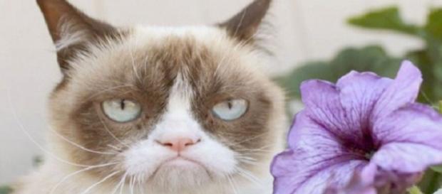 Grumpy Cat este cea mai morocănoasă pisică.