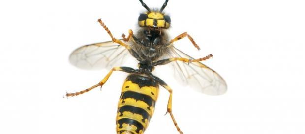 Fotografía del cuerpo de una avispa