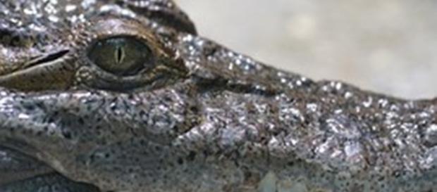 O crocodilo mágico que causa pânico em Tete