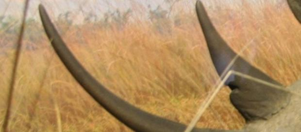 Rhino horn. Courtesy Pixabay (Commons)