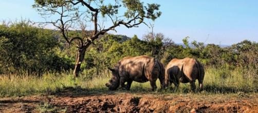 De-horned rhino. Pixabay (Commons)