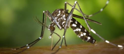 Nuevo virus transmitido por un mosquito