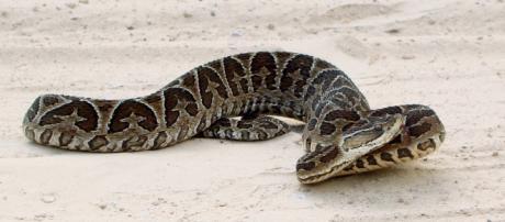 La mayoría de las serpientes son venenosas