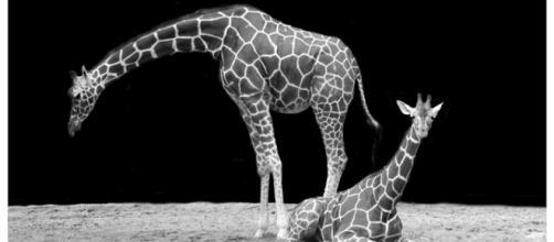 Giraffes courtesy of Pixabay commons