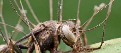 Hormiga afectada por el hongo.