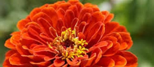 Zinnia, fiore americano simile a una margherita