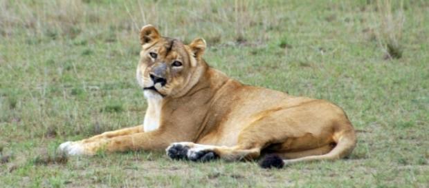 Lion in Luiwa National Park. Wikimedia