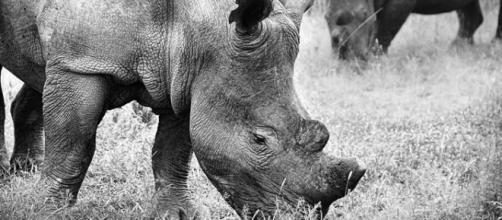 African rhinos. Image courtesy Pixabay commons